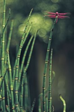 Horsetail & dragonfly.