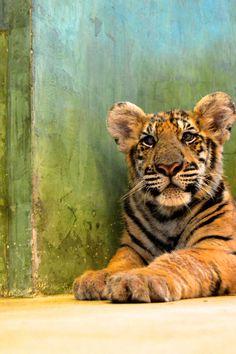Tiger Kingdom, Phuket, Thailand - http://brookiecookietrail.blogspot.com....would love to meet a tiger too!