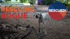Pit Bull Starved on Heavy Chain - Rescuing Rogue #1 with Detroit Pit Cre...