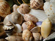 shells from Sanibel Island/Captiva