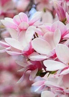 Nice shot of magnolias