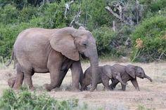 Photographic Print: Baby African Elephants and Mom by Four Oaks : Elephant Love, Elephant Art, African Elephant, African Safari, Zoo Animals, Cute Baby Animals, Animals And Pets, Funny Animals, Wild Animals
