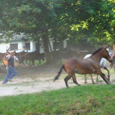 #Llanero  enlazando #caballo #Apure #Venezuela #horse #igersvenezuela