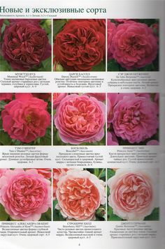 English Roses New & Exclusive