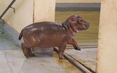 メンフィス動物園で今月カバの赤ちゃんが生まれました