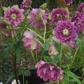 INFO-HELLEBORUS.EU/FI Plants