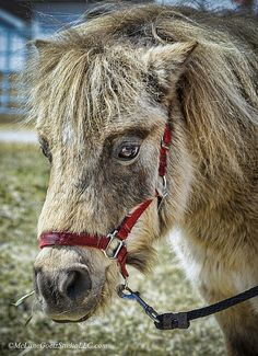 This minature horse was seen at Willcott Farm in Ray Michigan. He was the first to greet us as we walked up the walkway and the kids loved him.