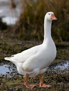 Embden Goose - Google Search