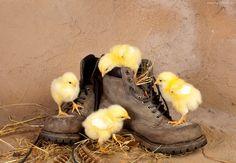 Małe, Kurczaczki, Buty