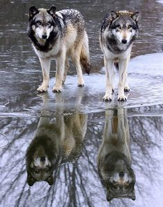🐺If you Love Wolves, You Must Check The Link In Our Bio 🔥 Exclusive Wolf Related Products on Sale for a Limited Time Only! Tag a Wolf Lover! 📷:Please DM . No copyright infringement intended. All credit to the creators. Beautiful Creatures, Animals Beautiful, Cute Animals, Wild Animals, Wolf Spirit, Spirit Animal, Wolf Pictures, Animal Pictures, Canis