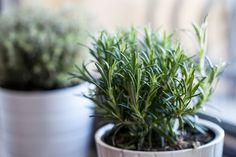5 Healthy Hacks Using Rosemary Essential Oil - DIY & Natural Beauty | dailybeautyhack.com