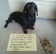 I stole a chicken off the table & picked it clean — then hid the evidence under the bed. I am dachshund! Dachshund Funny, Dachshund Puppies, Dachshund Love, Funny Dogs, Funny Animals, Cute Animals, Daschund, Funny Memes, Dachshund Quotes