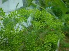 Not only is dill a great herb to grow in any garden but it also makes a great host plant for butterflies. Planting Seeds, Planting Flowers, Marijuana Plants, Cannabis, Seeds For Sale, Herb Seeds, Fall Plants, Flower Seeds, At Least