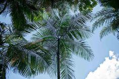 Entre as coleções botânicas do Inhotim na rota amarela do Parque está a palmeira-juçara espécie que guarda um delicioso palmito. Por ser muito explorada este tipo de palmeira se encontra atualmente em extinção tornando cada vez mais comum o consumo do palmito de açaí e de pupunha. #meuinhotim #destaquesbotanicos by inhotim