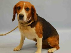 LEOPOLD –A1040423  FEMALE, TRICOLOR, BEAGLE, 4 yrs STRAY – STRAY WAIT, NO HOLD Reason STRAY Intake condition EXAM REQ Intake Date06/17/2015, From NY 10458, DueOut Date06/20/2015, I came in with Group/Litter #K15-018823.