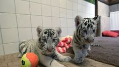 white tiger black panther - Google Search White Bengal Tiger, Black Panther, Tiger Cubs, Pictures, Photos, Cats, Animals, Google Search, Check