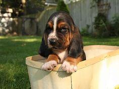 Basset Hound Puppy in Basket