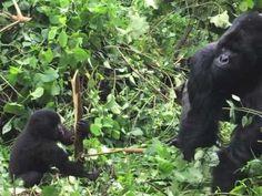 Gorilla Trekking in the DRC
