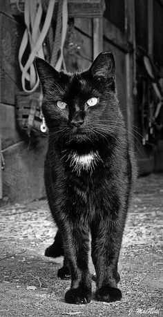 Black Barn Cat ~ this is a spitting image of my former kitty. Just add a fleck in his eye and it would be him! Makes me miss him so much.