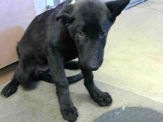 German Shepherd Dog dog for Adoption in Sacramento, CA. ADN-645083 on PuppyFinder.com Gender: Male. Age: Baby
