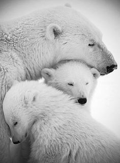 the polar bear family