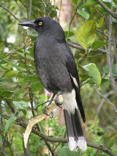 Pied Currawong - Strepera graculina; are found throughout eastern Australia, from northern Queensland to Victoria, but is absent from Tasmania. Pied Currawongs feed on a variety of foods including small lizards, insects and berries. They also take a...
