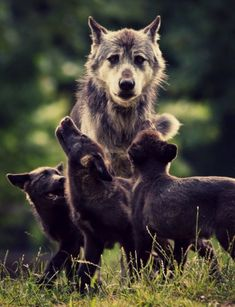 Mama Wolf with hungry babies.