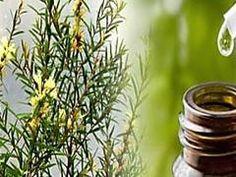 Tea tree oil for toe nail fungus. Get rid of toe nail fungus. Tea tree oil uses for toe nail fungus. Melaleuca Essential Oil, Tea Tree Essential Oil, Essential Oils, Tea Tree Oil Uses, Tea Tree Oil For Acne, Huile Tea Tree, Australian Tea Tree, Gum Disease Treatment, Medicinal Plants