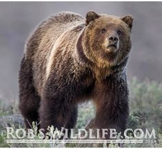 Very beautiful grizzly bear in Yellowstone National Park  http://RobsWildlife.com  #Robswildlife #Yellowstone #Adventure #YNP #YellowstoneNationalPark  #Action #Canon #canoncamera  #wyoming  #Nature #NationalGeographic #nature_of_our_world  #usinterior  #Natgeo #WildPlanetCover #Wildlife #Nature #naturephotography #mossbackoutfitters #Beer #Grizzly #GrizzlyBear #Animal #Animals #animal #animalkingdom