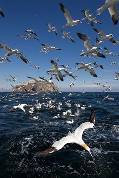 Diving Gannets by Alfred Forns