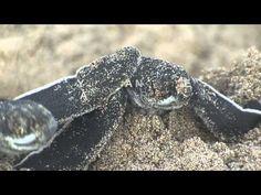 Ocean Spirits Leatherback Sea Turtle Research & Education Programme, Grenada