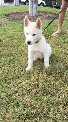 White Siberian Husky Puppy, Siberian Huskies, Blue Dog Breed, Baby Girl Blue Eyes, Animals Beautiful, Cute Animals, Husky With Blue Eyes, Alaskan Klee Kai, Cute Puppies