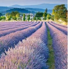 Provence, France travel tips and recommendations. Lavender fields in Provence. Where to eat in Provence. Where to stay in Provence. Glamping, Cool Places To Visit, Places To Travel, Europe Spring, Lavender Fields, Lavender Garden, Provence Lavender, European Destination, Provence France