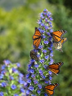 Butterflies at San Simeon, CA  Buddleia are oftten called 'the butterfly plant' because if you want butterflies in your garden, make sure you plant a buddleia or two!!!