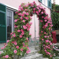 "Climbing Rose ""Zéphirine Drouhin"""