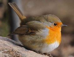 24 ideas for baby robin bird Cute Birds, Pretty Birds, Small Birds, Little Birds, Beautiful Birds, Animals Beautiful, Baby Robin Bird, Animals And Pets, Cute Animals