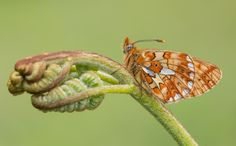Pearl-bordered Fritillary by Dave Collins on 500px