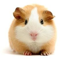 Seriously considering getting a guinea pig that looks exactly like this... :)