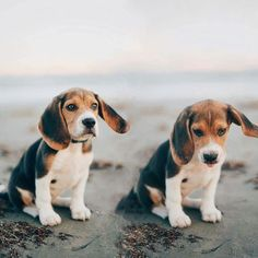 Just the two of us. ... #beagle