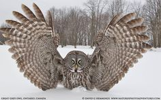 """Ashes """"Over Here"""" by wildlife and bird photographer David Hemmings on Great Gray Owl with wings stretched wide. Owl Photos, Owl Pictures, Animals Photos, Nature Photos, Beautiful Owl, Animals Beautiful, Strix Nebulosa, Great Grey Owl, Gray Owl"""