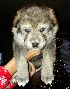 Nor-Cal Wolfdogs wolf hybrids for sale Wolf Hybrid Puppies, Wolf Hybrid Dogs, Puppies For Sale, Dogs And Puppies, Wolf Dog Puppy, Wolfdog Hybrid, Wolves, Doggies, Favorite Things
