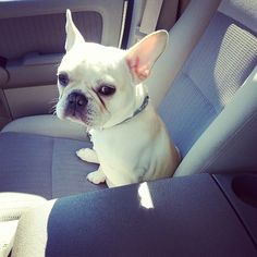 Move over, every other dog breed. Frenchies are adorable and deserve to be in your hearts forever. Cute Dog Pictures, Bow Wow, Baby Dogs, Dog Breeds, Cute Dogs, Dog Cat, Cute Animals, Side Eye, Puppies