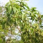 diseased peach tree