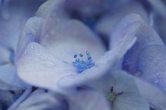あじさい (紫陽花) /Hydrangea macrophylla | Flickr - Photo Sharing!