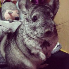 Chinchilla are sometimes called crepuscular, meaning their activity peaks at dawn and dusk. URL: http://chinchilla.co/ FB fan page: https://www.facebook.com/castoroil.org
