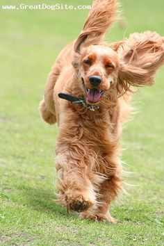 A photo of a 7 years old, Red, English Cocker Spaniel - happy and running around | GreatDogSite.com