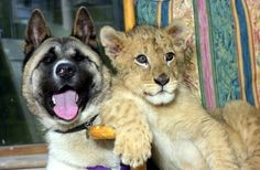 n 1998, Scotland's Glasgow's Zoo paired up this Akita, Koneko, with a lion cub named Sam. It was an experiment that turned out extremely well: The two immediately bonded and became best friends.