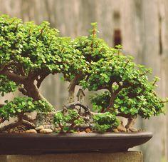 Bonsai da Portulacaria afra (jade anã). Conhecida como arbusto elefante, planta de jade anã, é uma planta suculenta com pequenas folhas encontradas originalmente na África do Sul. Fotografia: www.etsy.com