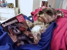 This is an adorable picture of mini schnauzer reading and magazine