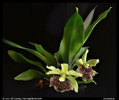 Kefersteinia Tolimensis | Home / Studio images / Orchids / Orchid Species / stud50628